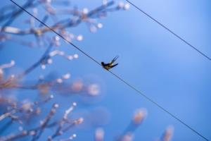 電線にとまる燕